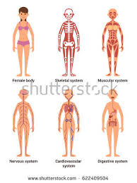 Anatomy Of Body Muscles Human Nervous System Stock Images Royalty Free Images U0026 Vectors