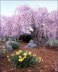 ornamental weeping cherry tree so delicate and beautiful