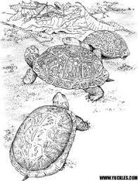 painted turtle coloring painted turtles worksheets turtle