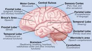Gross Brain Anatomy Human Brain Anatomy Quiz