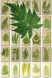 ferns 1 collection of 222 vintage images spleenwort woodsia