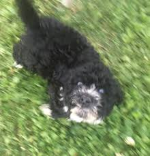 affenpinscher reviews portuguese water dog puppies for sale home facebook