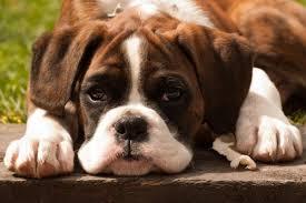 boxer dog reverse brindle cute brindle boxer puppies u2013 dogs world