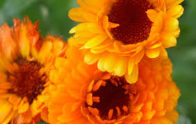 Calendula Flowers Calendula Vitality Magazine