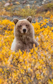252 best bears images on pinterest animals baby animals and