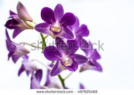 purple orchids orchidsorchids purple orchids purple considered stock photo