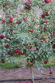 cosmic crisptm characteristics and horticulture wsu tree fruit