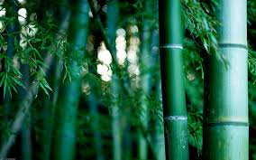 bamboo full hd wallpaper and background 1920x1200 id 375720