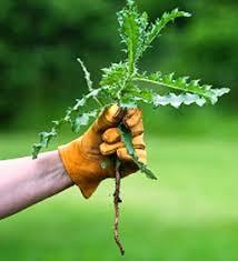 organic weed control how to naturally kill weeds with homemade