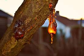 what is tree resin what s buzzing superbe