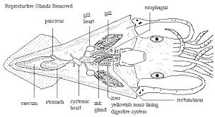 human anatomy squid anatomy diagram and functions male squid