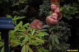 Garden Rodents Types Brown Rat