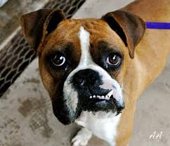 boxer dog jaw dogs with underbites are so cute incurable cuteness