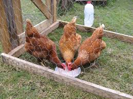 my chickens have scratch that u2013 had worms laura rittenhouse u0027s
