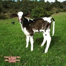 girolando vacas de leche pinterest cattle