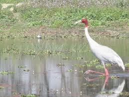 sarus crane antigone antigone this is the state bird of uttar
