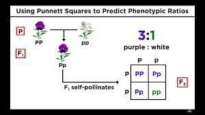 study guide mendels laws of heredity mendelian genetics and punnett squares youtube