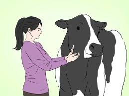 how to identify holstein cattle 4 steps with pictures wikihow