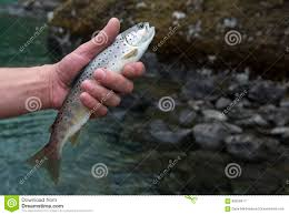 freshly caught small rainbow trout fish in a fisherman hand