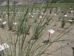 utah native plants great basin npp research projects u2014 the great basin native plant