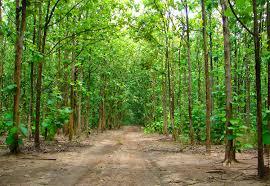 guadua bamboo vs teak plantations u2014 guadua bamboo