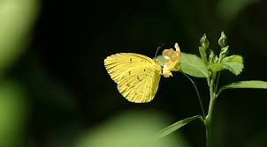 the yellow butterfly anu anupam