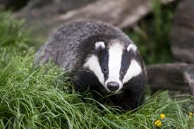 badger control in gardens u2013 tips on keeping badgers away