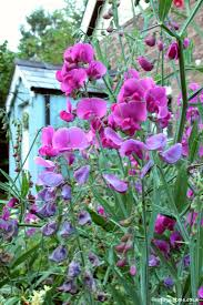 everlasting sweet pea gran and loved their sweet peas they grew a large