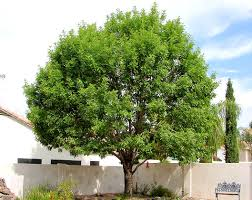 arizona evergreen trees scape tech landscaping design