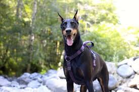 belgian shepherd vs doberman 10 active dog breeds that will help you stay fit american kennel