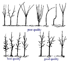 specification guidelines for container grown landscape trees tree