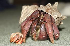 hermit crab coloring pages arterey info