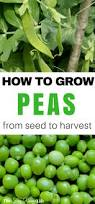 how to grow peas in your vegetable garden best growing ideas on