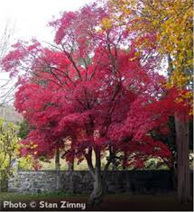 buy affordable japanese maple trees at our nursery