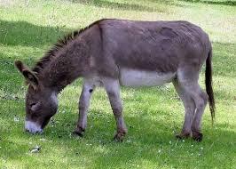 animali da cortile definizione asino asini caratteristiche dell asino