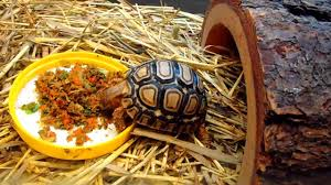 Tortoise Bedding My Leopard Tortoise Got The Munchies Youtube