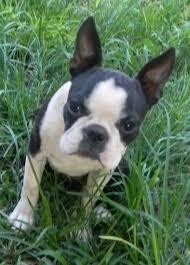 Boston Terrier Meme - carogan kennels breeders of french bulldogs boston terriers