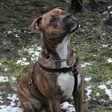 boxer x red cattle dog 12 unreal boxer cross breeds you have to see to believe