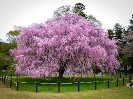 pink weeping cherry for sale the tree center front