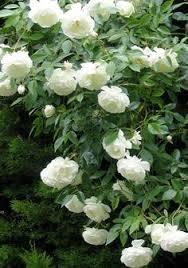Most Fragrant Jasmine Plant - jasmine long flowering fragrant how to grow my future green