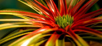 growing and caring for bromeliads doityourself com
