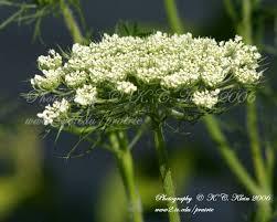 native prairie plants illinois queen anne u0027s lace