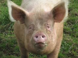 pigs and hogs history and some interesting facts