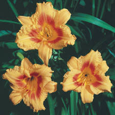 Stella Daylily Rebloom Product Categories American Daylily U0026 Perennials