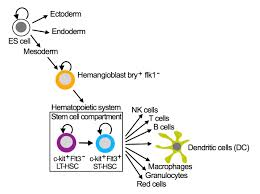 stem cells and multipotent progenitor cells