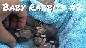 wild baby rabbits in my yard update youtube