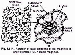 stomata structure number distribution and type of stomata
