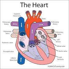 Anatomy Of Human Body Pdf Heart For Kids Here To Save Or Print A Color Diagram Of