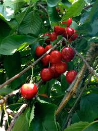 cuisiner le fruit de l arbre à images gratuites plante fruit baie aliments produire
