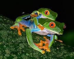 eyed tree frog facts and information